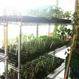 Our seedlings sprouting at the Reena Residences greenhouse on Lebovic Campus Drive.