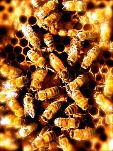 Female guard bees surround and protect the queen, the only fertile bee in the hive and the mother of all.