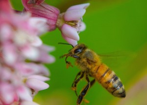 Honey bee pollinated Common Milkweed, an essential flowering plant for Monarch butterflies.