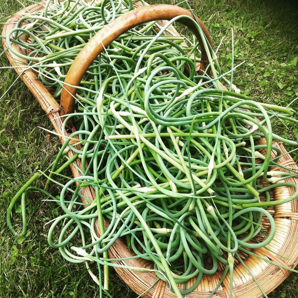 Bela Farm garlic scapes