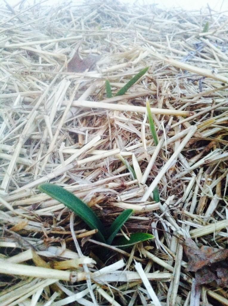 Garlic shoot emerging in early spring at Shoresh's Kavanah Garden