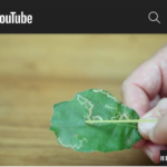 [IMAGE DESCRIPTION: screenshot of a YouTube video showing a hand holding and pointing to a green leaf with a lighter coloured squiggly line crossing the surface of the leaf. The Hidden Villa logo is on the bottom right corner.]