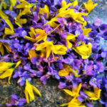 [IMAGE DESCRIPTION: pile of purple wild violets and yellow forsythia blossoms]